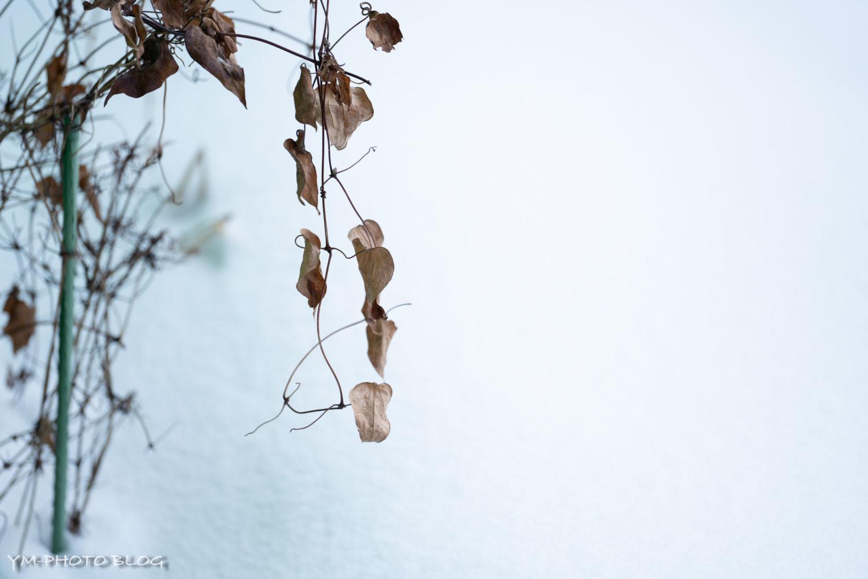 雪と枯葉2